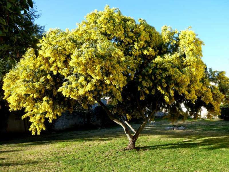 گل ملی استرالیا